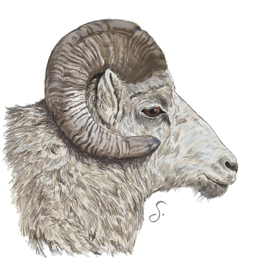Wildlife_BighornSheep_Ram_HeritageLook_2013BLOG